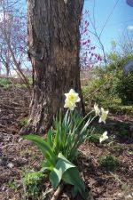 daffodil and tree