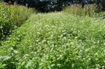 patch of buckwheat