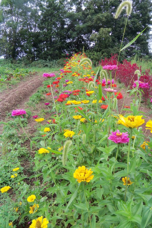 a row of zinnias