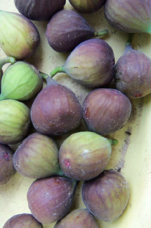picked figs