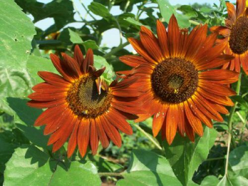 Bronze sunflowers
