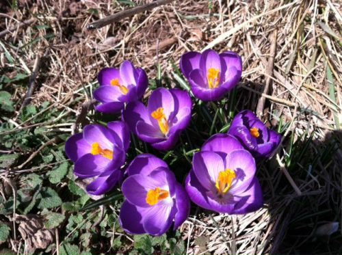 Crocus blooming