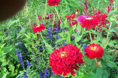 Zinnias in August