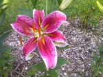A stargazer lily waiting for a bouquet