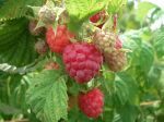 Raspberries in August