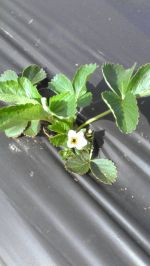 2013's First Strawberry Flowers