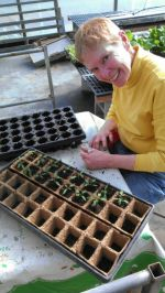 Potting up tomatoes in greenhouse