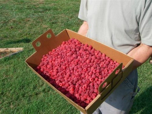 PYO box with raspberries