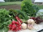 Spring Box: swiss chard, turnips, radishes, beets, salad mix, napa cabbage, dill, kale, collards, lettuce