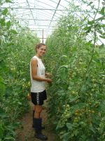 Ruthie amongst trellised cherry tomatoes in the high tunnel