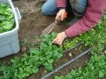 Ruthie cutting overwintered spinach from the high tunnel
