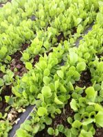baby green romaine lettuce
