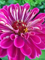 brilliant pink zinnia in the low tunnel