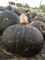 sea of kabocha squash curing