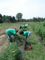 Green Fist interns picking tomatoes