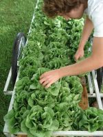 a cartful of Bibb-Romaine lettuce heads