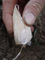 plant garlic in this direction