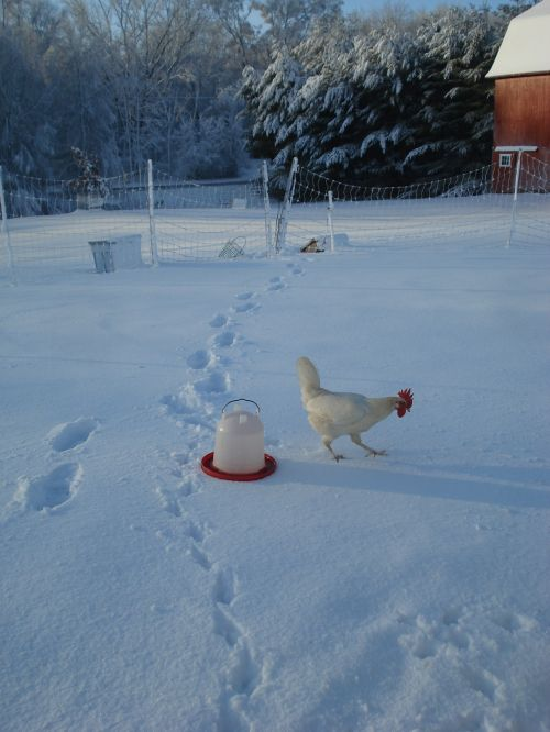 leghorn hen exploring the snow
