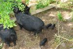 American Guinea Hog with new gilts