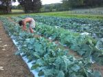 Checking cabbage