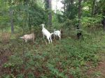 We take our goats for walks in the woods where they get the best nutrition.