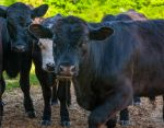 Black Angus steer calves