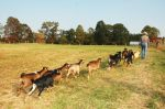 Patti leads a herd of young Spanish goats to a new pasture.