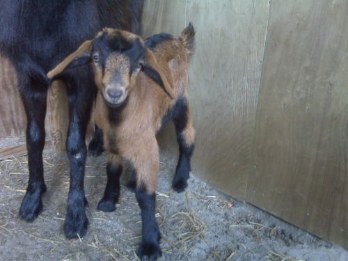 Midnight's baby Zora, the first baby born at Waverly Farms.