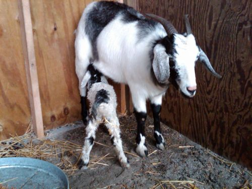 Domina feeding newborn buckling, Domino