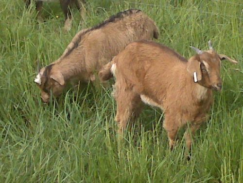Meenie and Eenie enjoy new pasture.