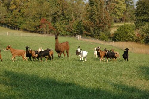 Mocha, our overly affectionate guardian llama and her goats go to work eating weeds out of a pasture.