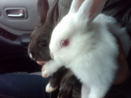 Frisky and Flopsey, our baby bunnies 3/9/2011