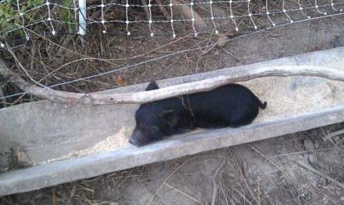 Smart piglet waits for feeding time