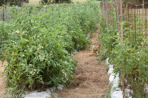Tomato plants in July