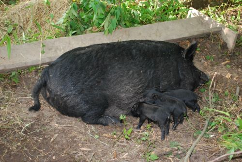 American Guinea Hog sow with babies