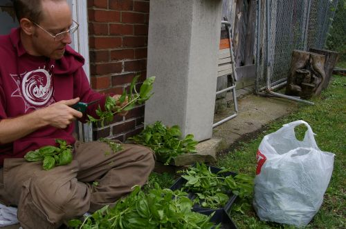 Bob clipping basil