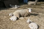 Lambs napping in the sun