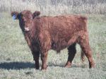 Galloway Steer