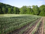 Our Field of Garlic Dreams