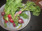Radishes from raised bed