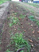 Potatoes waiting to be picked