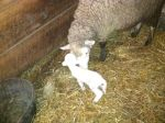Little ewe, 4lbs. 8 oz.