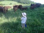 Checking out the cows
