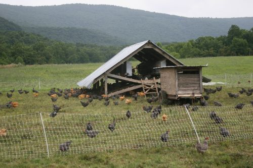 Hens on pasture at Polyface