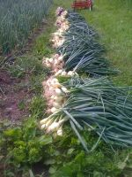 Onions basking in the sun following harvest.