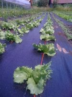 Head lettuce beating the weeds on weed fabric.
