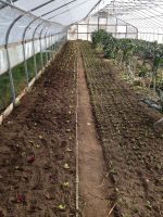 Spinach and greens in big hoophouse.