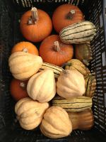 Winter squash harvest time.