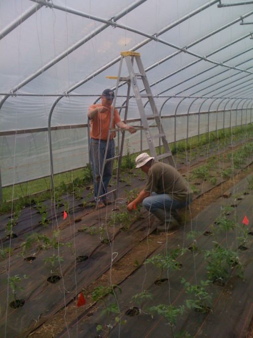 Workshares: Joe and Todd tying up hoop house tomatoes
