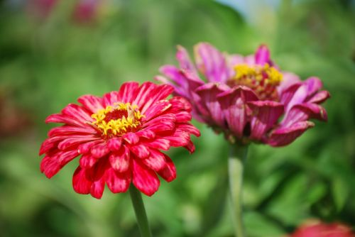 The zinnia's are still going!
